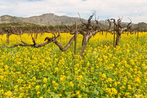 27872250-Napa-Valley-Vineyards-and-Spring-Mustard-Stock-Photo