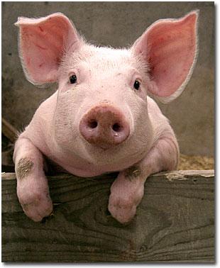 PigBaby1